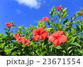 沖縄の青空と爛漫のハイビスカス 宮古島 伊良部島 23671554