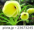 朝の花オクラ 23673245
