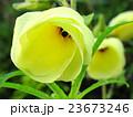 朝の花オクラ 23673246