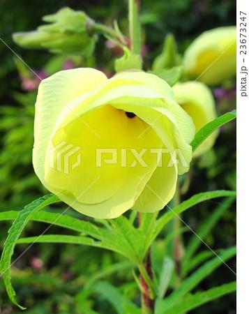 朝の花オクラ 23673247