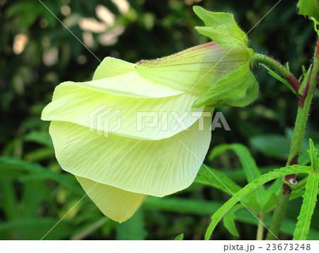 朝の花オクラ 23673248