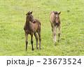 子馬 23673524