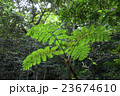 シダ 植物 ジャングルの写真 23674610