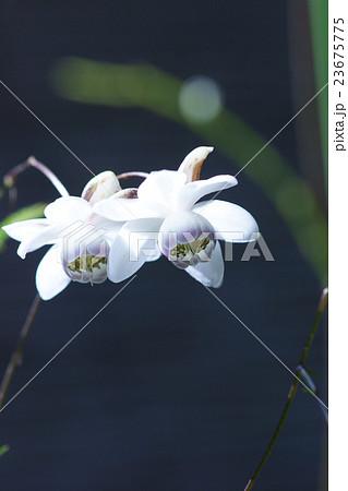 蓮華升麻レンゲショウマ 花言葉は「伝統美」 23675775