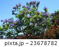 花 ジャカランダ デイゴの写真 23678782