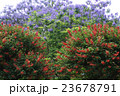 花 ジャカランダ デイゴの写真 23678791