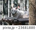 おおかみ オオカミ 狼の写真 23681880