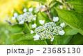 紫陽花 23685130
