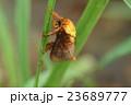 オキナワナシイラガ 虫 昆虫の写真 23689777