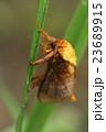 オキナワナシイラガ 虫 昆虫の写真 23689915