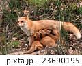 キタキツネの家族 23690195