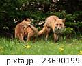 キタキツネの家族 23690199