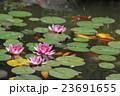 蓮の池 23691655