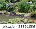蓮の池 23691656