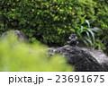 ヒヨドリの水浴び 23691675