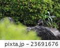 ヒヨドリの水浴び 23691676