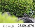ヒヨドリの水浴び 23691679