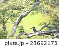 カワセミ 23692173