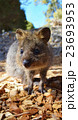 ロットネス島*クォッカ 23693953