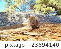 ロットネス島*クォッカ 23694140