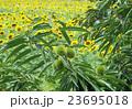青栗とひまわり畑 23695018