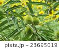 青栗とひまわり畑 23695019