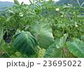 コイモとオクラ畑 23695022
