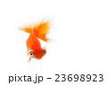 出目金 金魚 魚の写真 23698923
