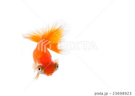 金魚14 23698923