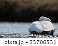 休むオオハクチョウ 23706531