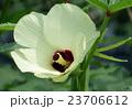 オクラの花 23706612