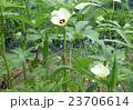 畑のオクラ 23706614