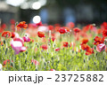 ポピー 花畑 花の写真 23725882