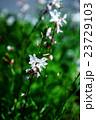 植物 花 ハクチョウソウの写真 23729103