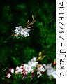 植物 花 ハクチョウソウの写真 23729104