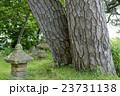 黒松 巨樹 幹の写真 23731138
