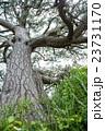 黒松 巨樹 樹木の写真 23731170
