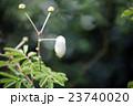 ネムノキ 合歓木 ネムの写真 23740020