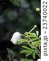 ネムノキ 合歓木 ネムの写真 23740022