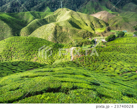 Tea plantation in the Cameron highlands 23740028