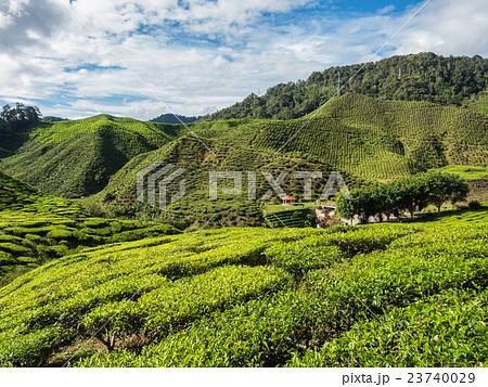 Tea plantation in the Cameron highlands 23740029