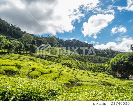 Tea plantation in the Cameron highlands 23740030