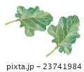 ケール 葉 野菜のイラスト 23741984