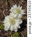 春の野草-5 23745610