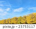 秋晴れの銀杏並木 23753117