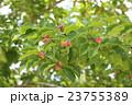 辛夷 モクレン科 モクレン属の写真 23755389