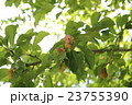 辛夷 モクレン科 モクレン属の写真 23755390