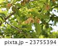 辛夷 モクレン科 モクレン属の写真 23755394