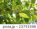 辛夷 モクレン科 モクレン属の写真 23755396