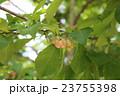 辛夷 モクレン科 モクレン属の写真 23755398